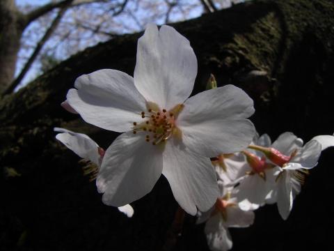 080402-Sakura01