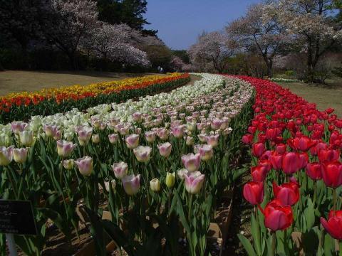 080422-Tulip-01