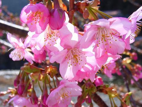 Kwazu-Cherry