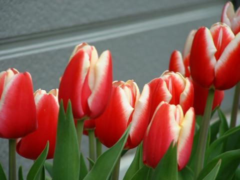 070110-Tulip