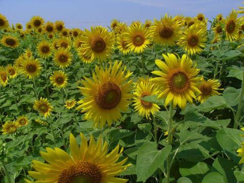 081026-Sunflower