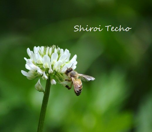 shirotume s