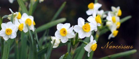 Narcissus.jpg