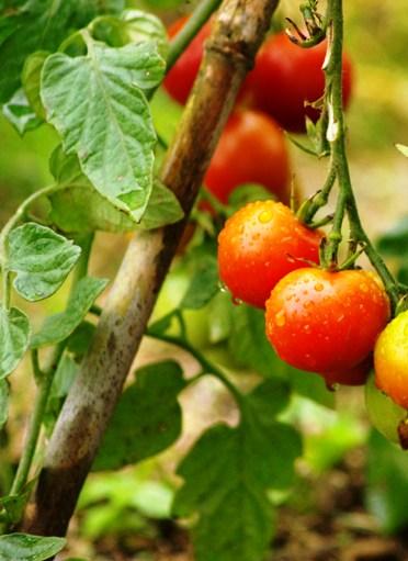 tomato2s.jpg