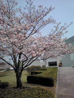 桜311040