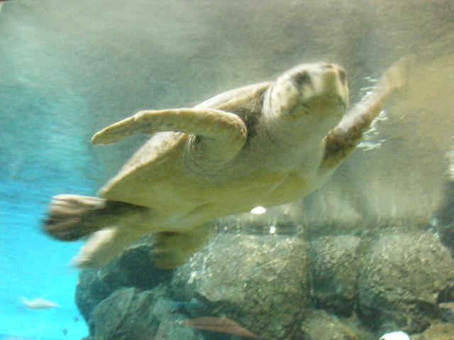 ウミガメの赤ちゃん1