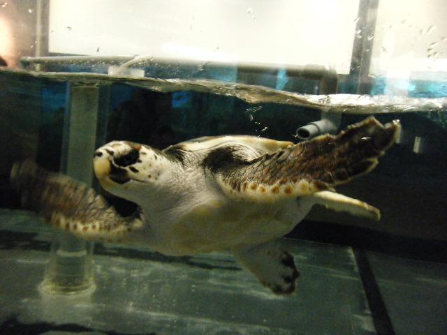 ウミガメの赤ちゃん2