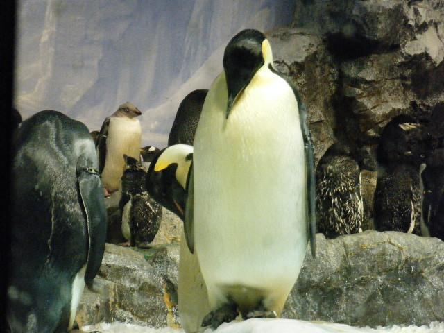 コウテイペンギンの毛づくろい