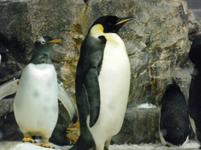 りりしいコウテイペンギン