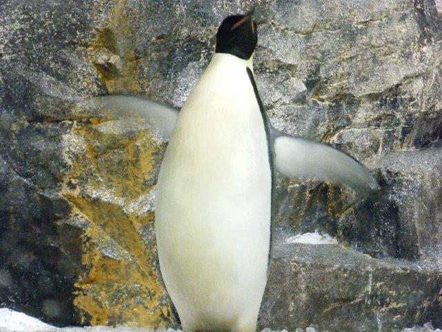 コウテイペンギンの腹