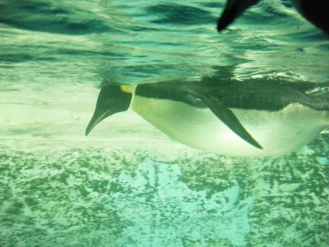 泳ぐコウテイペンギン