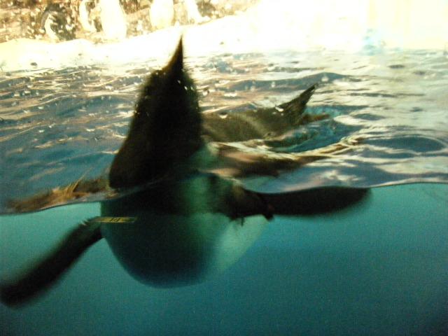 泳ぐペンギン3