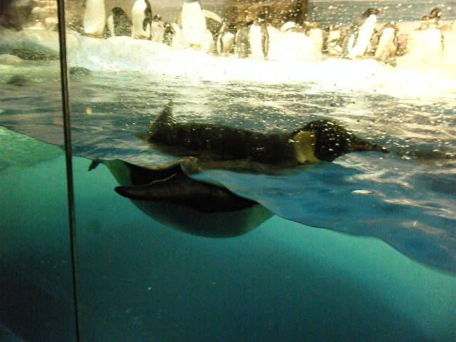 泳ぐペンギン4