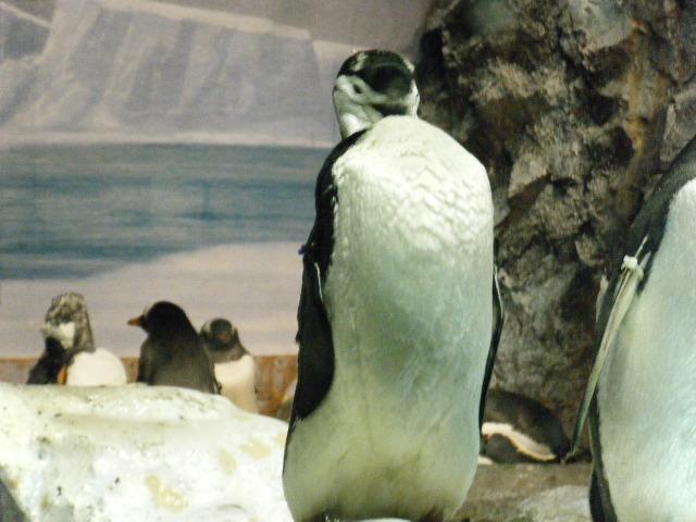 ペンギンていいな!!。1