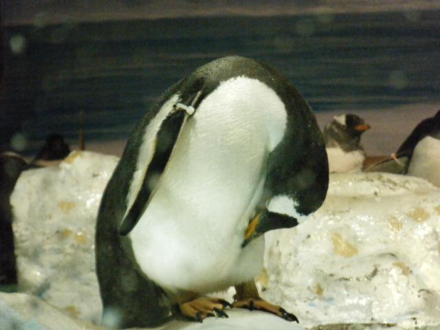ペンギンっていいな!!。2