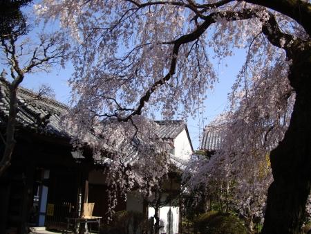 0406_sakura_3.jpg