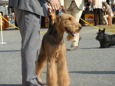 airedale terrier[1]