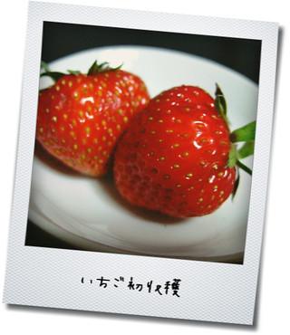 今年初収穫の苺たち