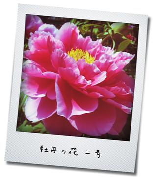 牡丹の花二号