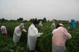 モロヘイヤ収穫中