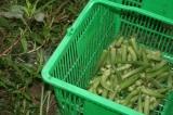 収穫したオクラです。