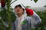 オクラ収穫2