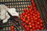 収穫したミニトマトです。