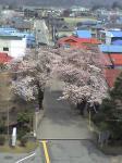 役所の屋上から眺める桜