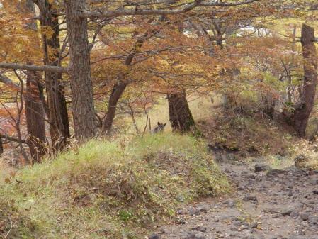 カモシカ111013浅間山s