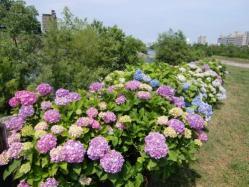 2011.7月 紫陽花