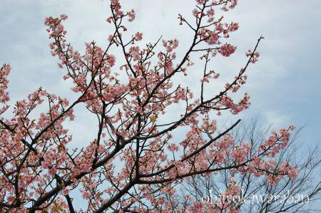 桜も咲いてたよ♪_004