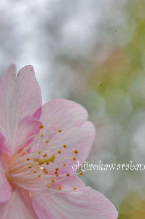 桜も咲いてたよ♪_010
