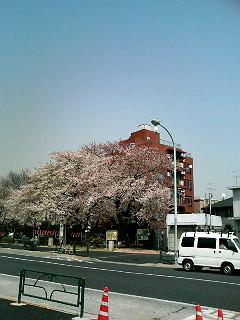 大山町入り口の桜