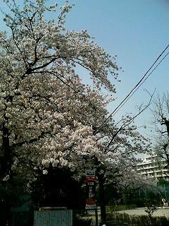 大山公園入り口桜