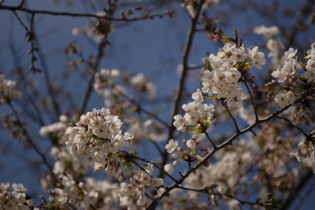 竹町公園の桜