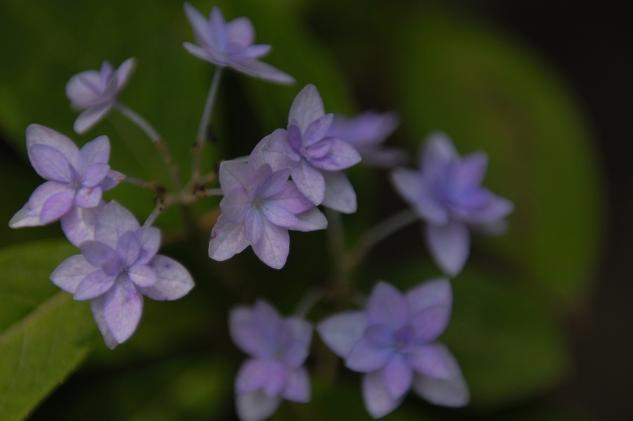 隅田公園紫陽花