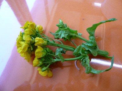 03・01春菜の花
