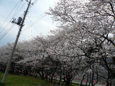 03・28桜02