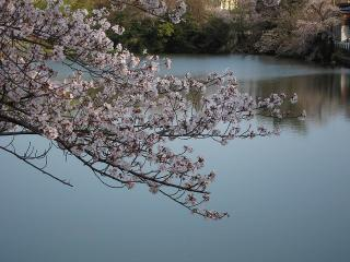 柱大池の桜