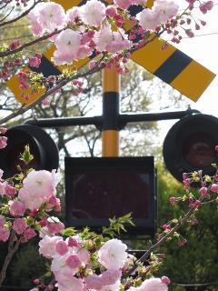 踏み切りと桜