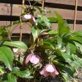 植え替え前のお花