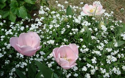 八重咲きのチューリップと