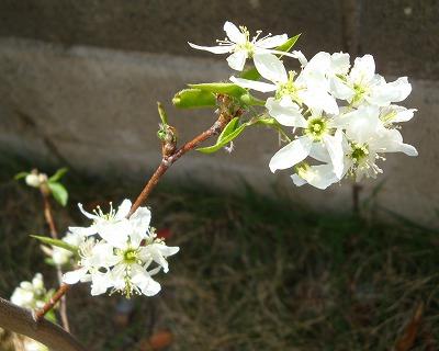 ジューンベリーのお花♪