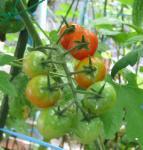 20080811_tomato.jpg