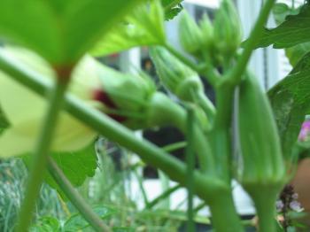 オクラの実と花