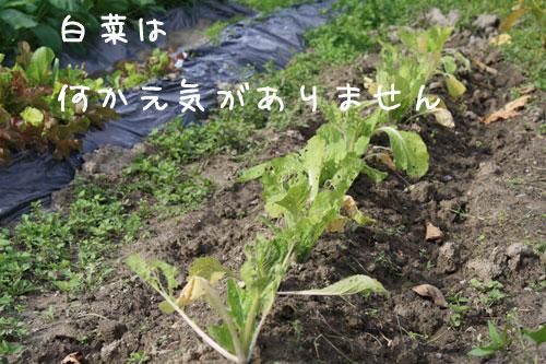 hakusai11_05.jpg