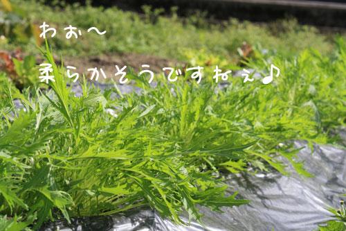 mizuna11_05.jpg
