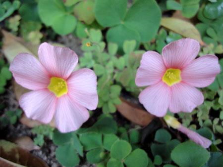 ピンクのオキザリス