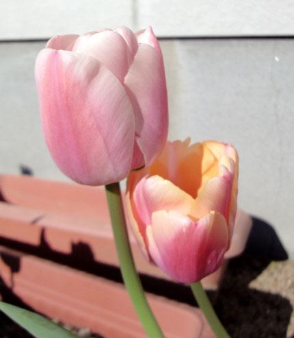 春色チューリップ2