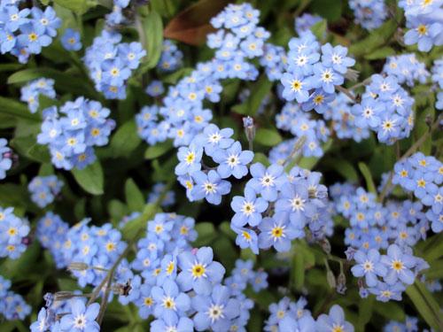 いっぱいの小さな花